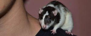 Pet Rats Care