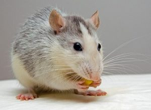 Rat Facts and Information