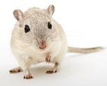 Pet Rat Cleaning