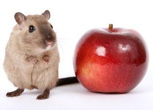 Rat food 1