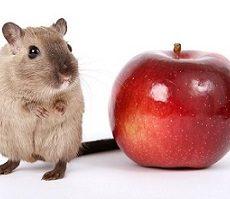 Feeding Your Pet Rat