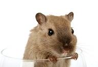 Training Pet rat