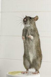 Short rat History
