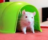 rat house