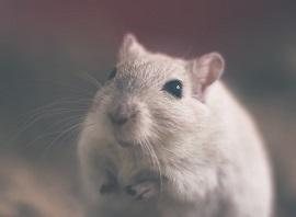 Pet Rat Information