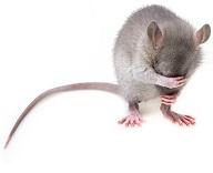 Pet Rats Short History