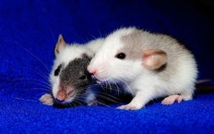 Pet rats pro and cons