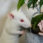 Pet Rat Breeds