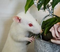 Pet Rat Breeds