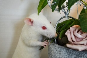 White breed Pet Rat